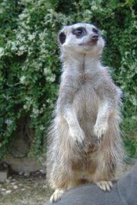 meerkat2 (small)